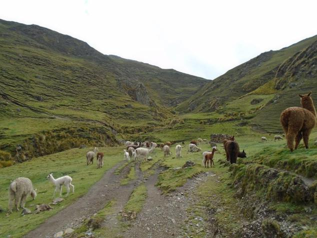alpaca hike